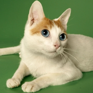 japanese-bobtail-wallpapers-18