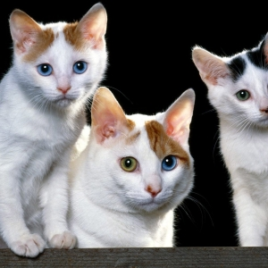 japanese-bobtail-wallpapers-19