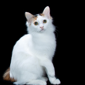 japanese-bobtail-wallpapers-20