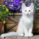 Турецкая ангора, белый окрас