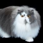 Персидская кошка, биколорный окрас2