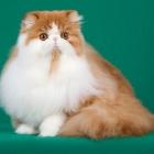 Персидская кошка, биколорный окрас3