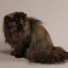 Персидская кошка, черепаховый окрас1