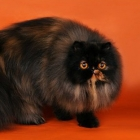 Персидская кошка, черепаховый окрас2