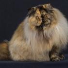 Персидская кошка, черепаховый окрас3