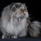 Персидская кошка, черепаховый окрас4