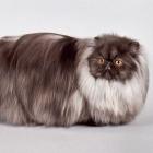 Персидская кошка, дымчатый окрас1