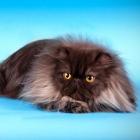 Персидская кошка, дымчатый окрас2