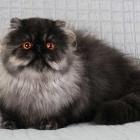 Персидская кошка, дымчатый окрас3