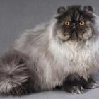 Персидская кошка, дымчатый окрас4
