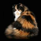 Персидская кошка, окрас калико1