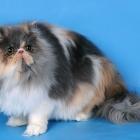 Персидская кошка, окрас калико2