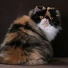 Персидская кошка, окрас калико3