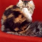 Персидская кошка, окрас калико4
