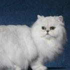 Персидская кошка, шиншиллового окраса1