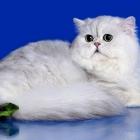 Персидская кошка, шиншиллового окраса2