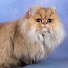 Персидская кошка, шиншиллового окраса3