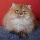 Персидская кошка, шиншиллового окраса4