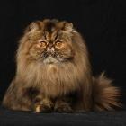 Персидская кошка, окрас табби1