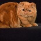 Персидская кошка, окрас табби2