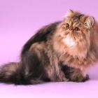 Персидская кошка, окрас табби3