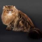 Персидская кошка, окрас табби4