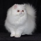Персидская кошка, сплошной окрас1