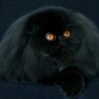 Персидская кошка, сплошной окрас2