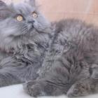 Персидская кошка, сплошной окрас3