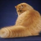 Персидская кошка, сплошной окрас4