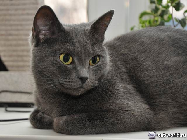 Русская голубая кот клички