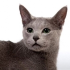 russian-blue-cat-foto1