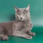 russian-blue-cat-foto4