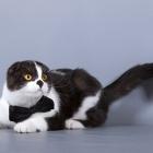 Шотландская вислоухая кошка, окрас биколор1