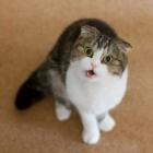 Шотландская вислоухая кошка, окрас биколор2