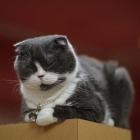 Шотландская вислоухая кошка, окрас биколор3