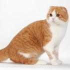 Шотландская вислоухая кошка, окрас биколор4