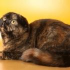 Шотландская вислоухая кошка, черепаховый окрас1