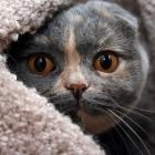 Шотландская вислоухая кошка, черепаховый окрас2