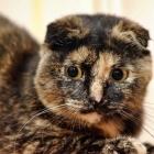Шотландская вислоухая кошка, черепаховый окрас4