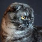 Шотландская вислоухая кошка, дымчатый окрас1