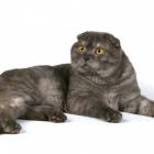 Шотландская вислоухая кошка, дымчатый окрас2