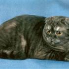 Шотландская вислоухая кошка, дымчатый окрас3