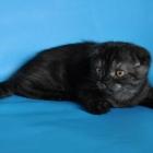 Шотландская вислоухая кошка, дымчатый окрас4
