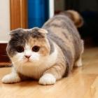 Шотландская вислоухая кошка, окрас калико1
