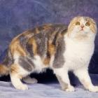 Шотландская вислоухая кошка, окрас калико2