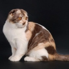 Шотландская вислоухая кошка, окрас калико3