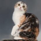 Шотландская вислоухая кошка, окрас калико4