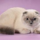 Шотландская вислоухая кошка, колор-пойнт1