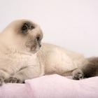 Шотландская вислоухая кошка, колор-пойнт2